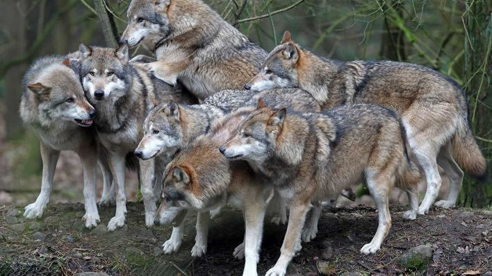 Wölfe In Brandenburg Karte.37 Rudel In Brandenburg Zahl Der Wölfe In Deutschland Steigt Auf