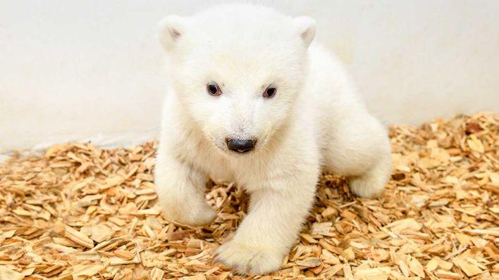 Es Entwickelt Sich Prächtig Eisbär Baby Im Berliner Tierpark Ist