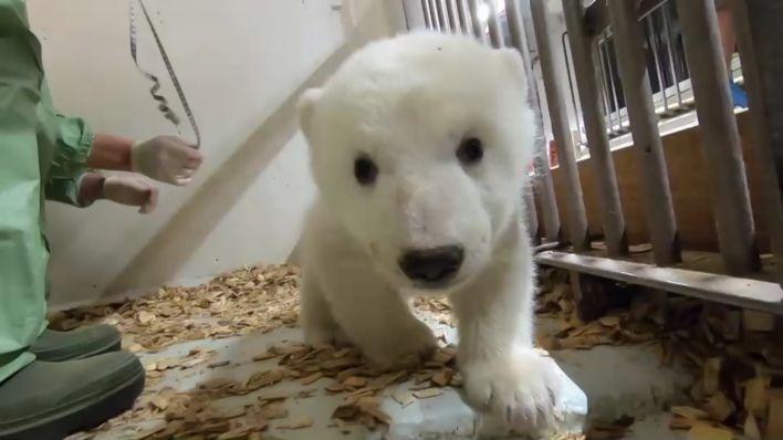 Video Eisbär Baby Im Berliner Tierpark Es Ist Ein Mädchen Rbb24