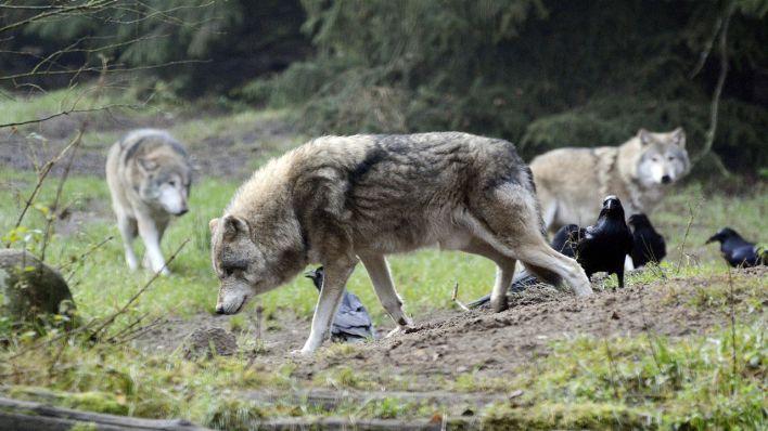 Hundekämpfe In Rußland