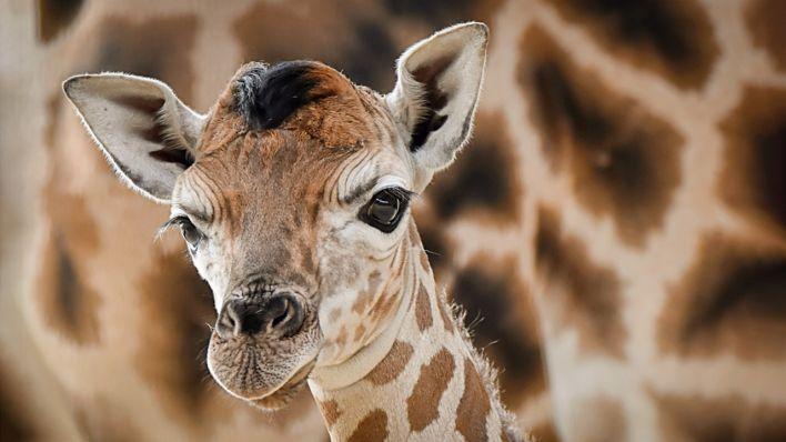 Giraffen Bild Whatsapp