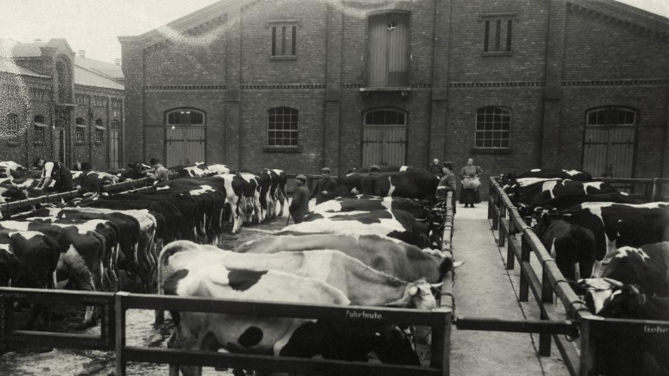 Rinderbuchten im Zentral-Schlacht-Viehhof, um 1921 in der Eldenaer Straße in Berlin-Friedrichshain. (Quelle: dpa/Otto Haeckel)