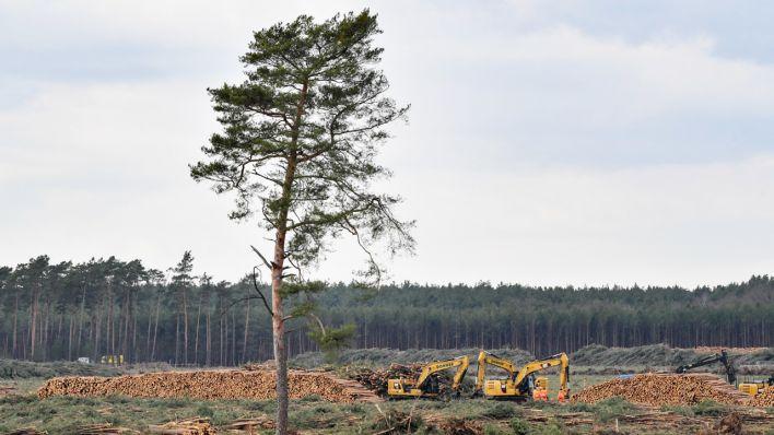 Landesamt für Umwelt: Tesla darf für Fabrik in Grünheide mehr Wald roden