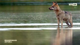 Wolf in Brandenburg (Quelle: rbb)