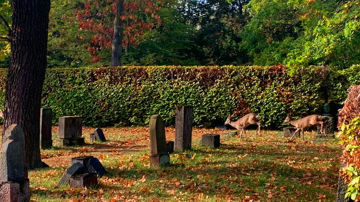 Wildschweine zerwühlen Gräber auf Waldfriedhof