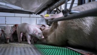 Schweinehaltung in Elbe Elster (Quelle: Animal Rights Watch)